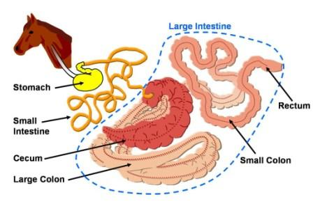 Nutrition for maximum performance lesson 1 simple digestive system horse ccuart Gallery